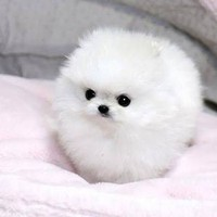 pomeranian puppy - Google Search