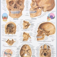 Anatomy of the Human Skull Education Poster 24x36