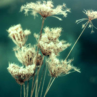 Flower Photograph, winter decor, nature photography, emerald green, Queen Anne's Lace, ethereal print, dried lace - 8x10