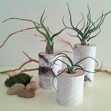 TREASURY ITEM - 3 Air plant terrariums - Birch tree slices- Birch logs - Air plants - Home and living - Woodland decor - Cabin decor