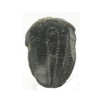 Trilobite: Natural Black Fossil from Utah Trilobite Prepared for Jewelry Making or Wire Wrapping, Organic Gemstone, Earth Gem