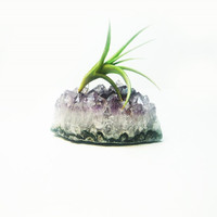 Live Air Plant Tillandsia Amethyst Druzy - Crystal Gardens - Terrariums - Science and Geology Gift