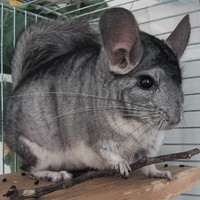 chinchillas - Google Search