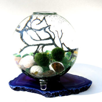 Marimo Terrarium in the bouncy sea, Japanese Marimo moss ball, with genuine NJ seashells, free MARIMO keychain included