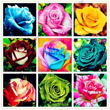 210pcs 24 Color Flower Seed Holland Rose Seed Lover Gift blue Green black Rainbow rare  Home Gardening Flower