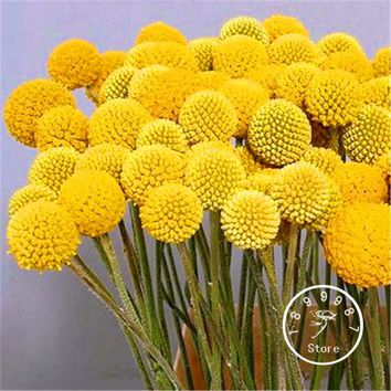Loss Promotion! 100 Pieces/Lot Heirloom  Craspedia Globosa Drumstick Perennial Billy Buttons Garden Yellow Flower seeds
