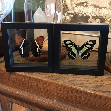Framed Siproeta Butterfly
