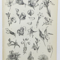 Flower Picture, Corolla, Petals, Black and White Flower Print. 1880's Print, Victorian Print