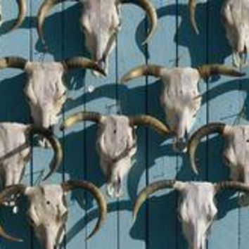 Bleached cow skulls decorate a wall