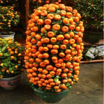 10 seeds Balcony or Patio Potted Fruit Trees - Kumquat  Orange  Tangerine