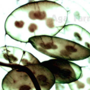 Botanical Print, Floating Seeds, Transparent Seeds, Archival Print, Green Brown, White, Home Decor Wall Art, Dreamy, 5x7
