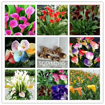 Various color potted Calla bulbs 2PC/bag (it is not Calla Lily seed) imported flower plant bulbs