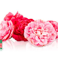 Buy Camellia Blossoms Online | Marx Foods