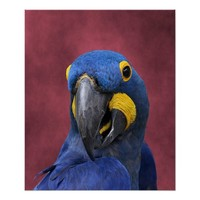 Cheeky Hyacinth Macaw Close-Up Poster
