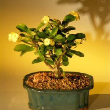 Flowering Crown of Thorns Bonsai Tree - Yellow (euphorbia milii)
