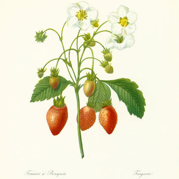 Strawberry Plant Botanical French Antique Print P.J Redoute Wall Art To Frame home decor
