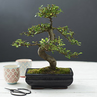 Shaped Elm Indoor Bonsai Tree Gift Set