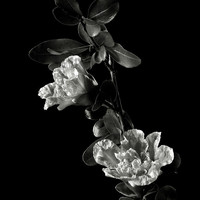 Pomegranate Flowers In Black And White