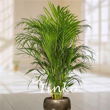 30pcs Bamboo Palm Seeds Lady Palm Indoor Plants Rhapis Excelsa DIY Home Garden Tree Seeds Air Purification Bonsai Seeds