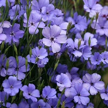 Catchfly Blue Angel Flower Seeds (Viscaria Oculata) 100+Seeds
