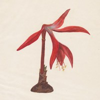 Antique Print Amaryllis Amarylius (E48) by Grandpa's Market