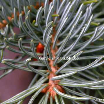 Blue Spruce Photo, Nature Print, Evergreen Photos, Art, Home & Office Decor, Cabin Decor, Holiday Photos, Art Photography, Print, Wall Art