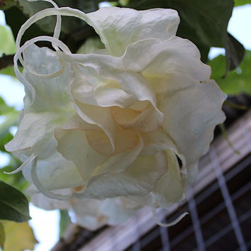Double White Lady Angels Trumpet Seeds (Datura metel) + FREE Bonus 6 Variety Seed Pack - a $30 Value!
