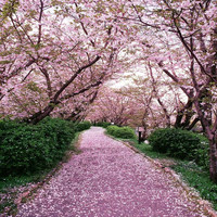 Sakura Tree Road 10ft x 10ft Backdrop Computer Printed Photography Background XLX-252