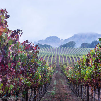 Rainy Autumn Vineyard Wall Art Print -- Fine Art landscape photography, California, Vines, Winery, Fall, Home Decor, HeatherRobersonPhoto