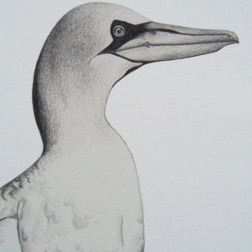 Gannet Illustration Giclee Print, A4
