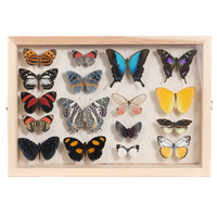 17 Butterflies in Display Box