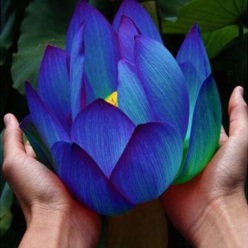 Flower seeds Blue Lotus Seeds Aquatic plants Water Plants Midnight Blue Lotus water lily plant for home garden 10pcs AA