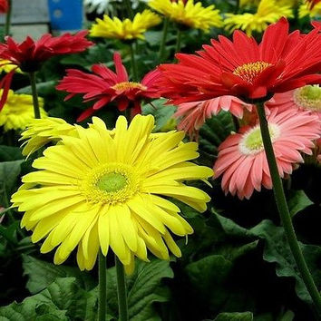 Gerbera Daisy Hybrids Mix Flower Seeds (Gerbera Jamesonii) 10+Seeds