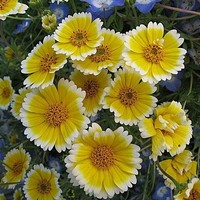 Tidy Tips Flower Seeds (Layia Platyglossa) 100+Seeds
