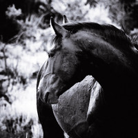 Horse Fine Art - Wild Stallion Wildlife Photography - Monochrome Animal Home Decor - Black and White Photo