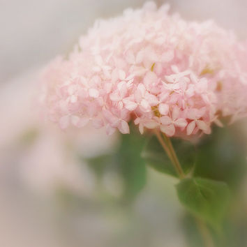 Delicate light pink flower, hydrangea, floral photograph, garden art, nature macro, pink chic, sweet summertime art, feminine, girly. shabby