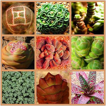 Lock hybrid seeds - Lithops Pseudotruncatella seeds 10 seeds/pack
