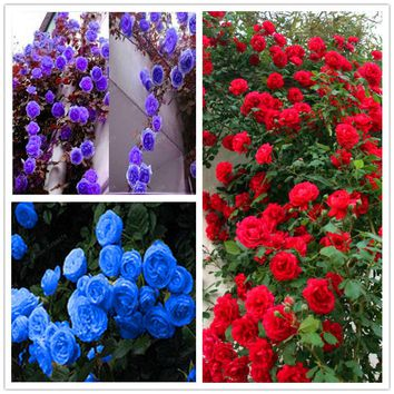 100 Pcs Climbing Roses Seeds Climbing Plants Chinese Flower Seed 24 Species Variety Each Of Variety