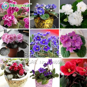 50 PCS Violet Seeds Garden Plants (Red Blue Purple White) Violet Flowers Perennial Herb Matthiola Incana Seed