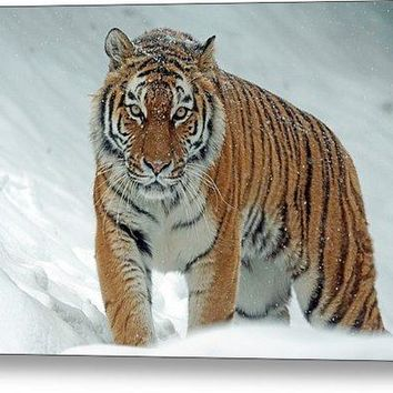 Tiger In Winter - Metal Print