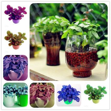 80 Pcs Multicolor Mini Coleus Seeds Indoor Rare Mini Bonsai Begonia Plants Household Bonsai for Flower Pot Planters