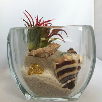 Air Plants Gold Coast Terrarium with Tiger Conch Magnified  Thick Glass Display