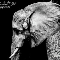 Elephant Portrait BW by Andrea Anderegg Photography