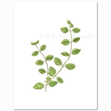 "Oregano Herb Art Print - Fine Art Reproduction of Original Oregano Plant Botanical Illustration, Green Kitchen Decor Giclee Print 11"" X 8.5"""
