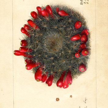 Prickly Pear, Prickly Pear (1908)