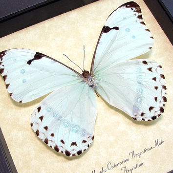 Mint Blue Morpho Butterfly Conservation Frame Display 609