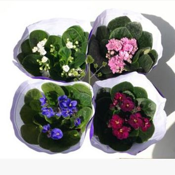 100 pcs / bag, Violet seeds, flower seeds, DIY potted plants, indoor / outdoor seed germination rate of 95% mixed colors