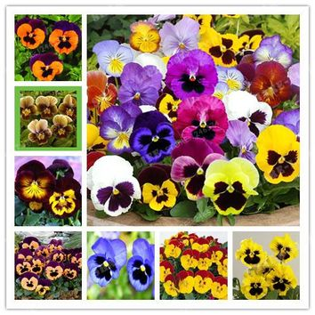 -Limit!! Beautiful Pansy seeds Color Viola Tricolor Flower bonsai potted &garden Shipping