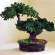 Monterey - Double Trunk-Preserved Bonsai Tree(Preserved - Not a living tree)