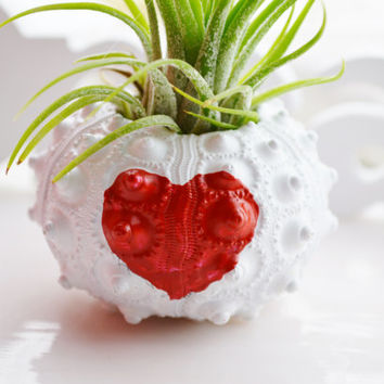 Valentine Heart Sputnik Sea Urchin with Tillandsia Air Plant ~ White Painted Sputnik ~ to say I LOVE YOU! ~ Handpainted Heart ~ Gift idea
